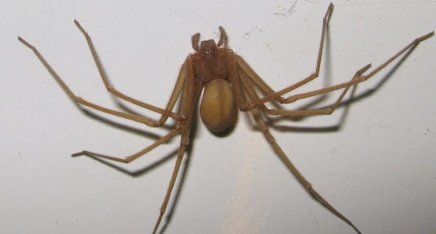 Internaron en terapia intensiva a una niña por la picadura de una araña de rincón