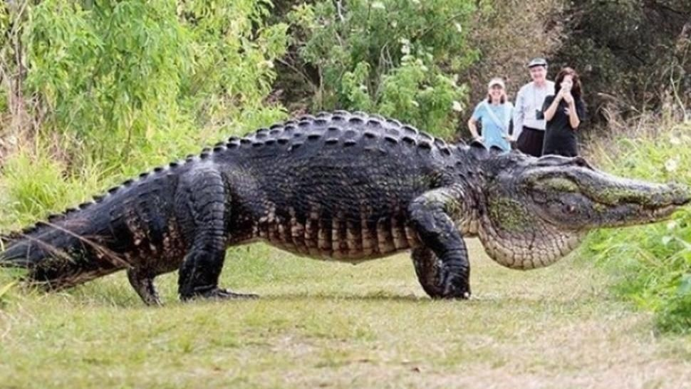 Metieron preso a un ¡cocodrilo!