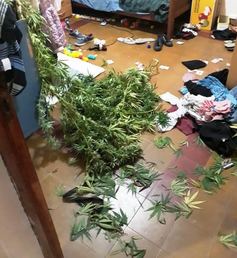 Villa Mercedes: secuestraron dos plantas de marihuana de más de 2 metros