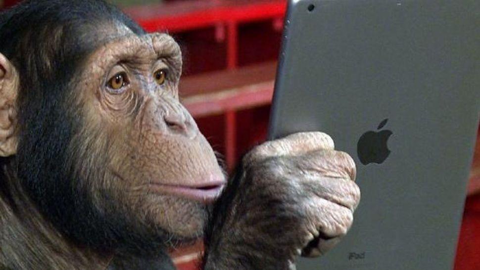 Furor por chimpancé que stalkea