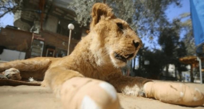 Zoológico amputó garras a leona para que juegue con los visitantes