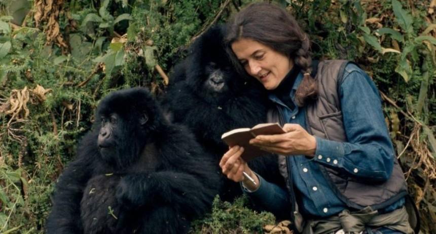 Gorilas rinden emotivo funeral a compañero muerto
