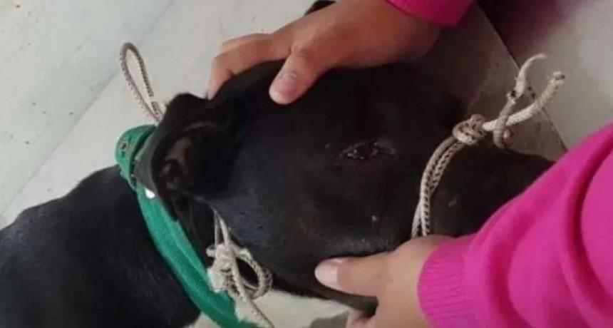 Indignación en Córdoba: perro salió a pasear y volvió con un cuchillo clavado