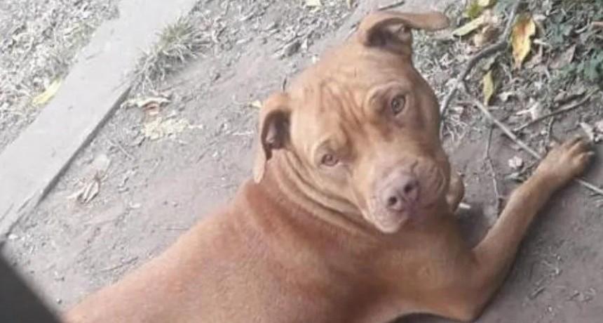 Pitbull le destrozó la pierna a mujer y amenaza a todos los vecinos
