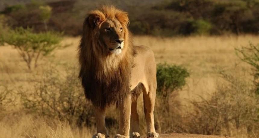 Conmoción por un león con cáncer de piel que lucha por su vida