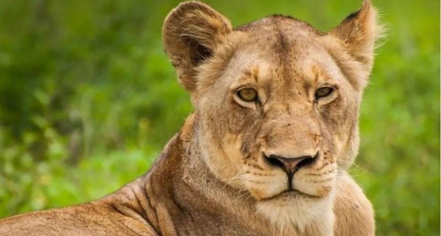 Tremendo: se hizo el muerto y escapó de la boca de una leona