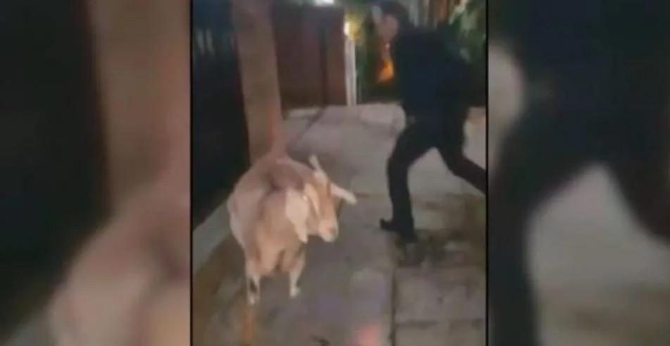 Indignante video: Conzi pasea cabras con la tobillera electrónica