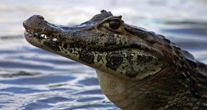 Macabro hallazgo de caimán nadando con un cuchillo clavado en su cabeza