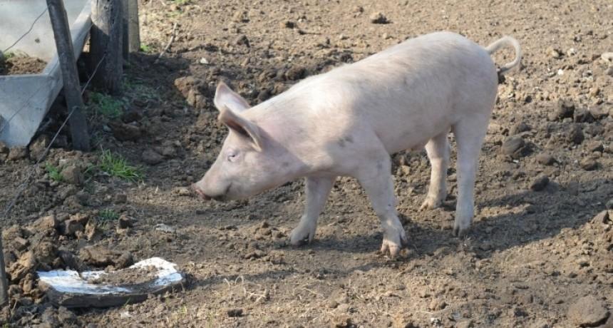 Detectan fallas en los controles del frigorífico de La Punilla sobre los cerdos contaminados con triquinosis