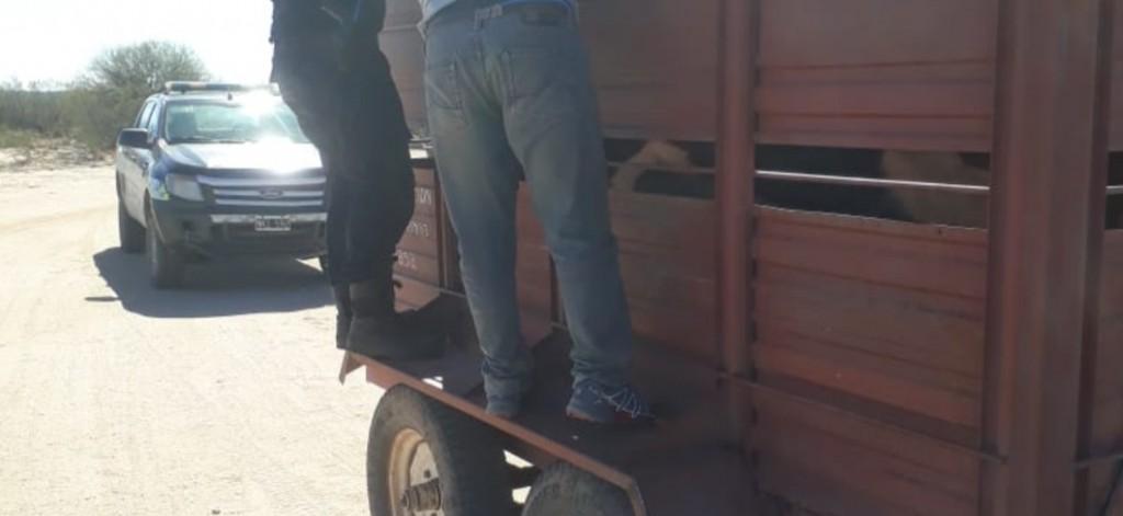 San Rosa del Cantantal: aprehendieron a un hombre que transportaba animales vacunos de manera ilegal