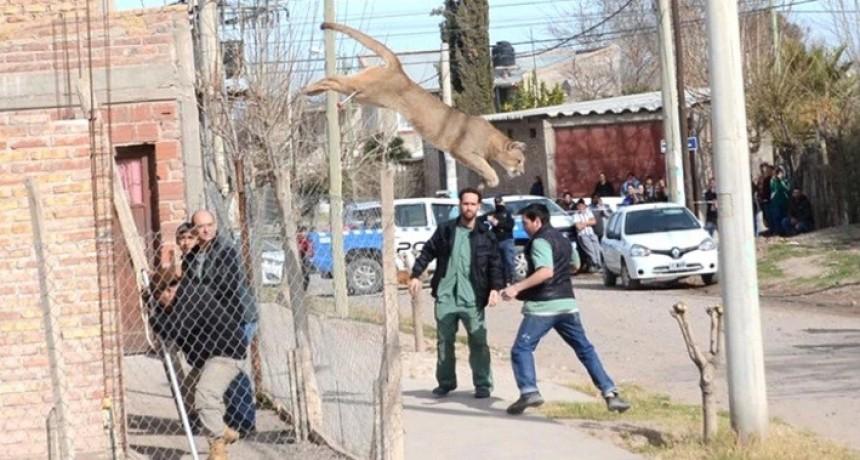 El impactante momento en que un puma irrumpe en un barrio de Neuquén y desata el pánico