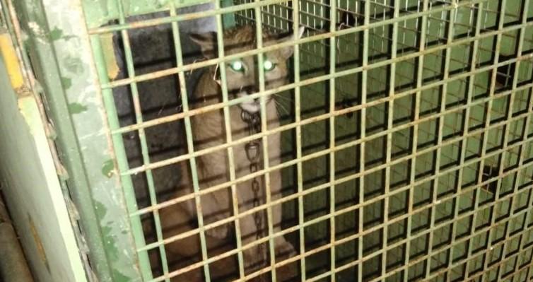 Juan Llerena: Policía Ecológica y Ambiental rescató un puma en cautiverio