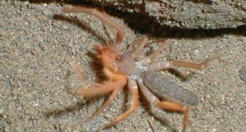 Descubrieron una nueva especie de araña camello que comería carne humana