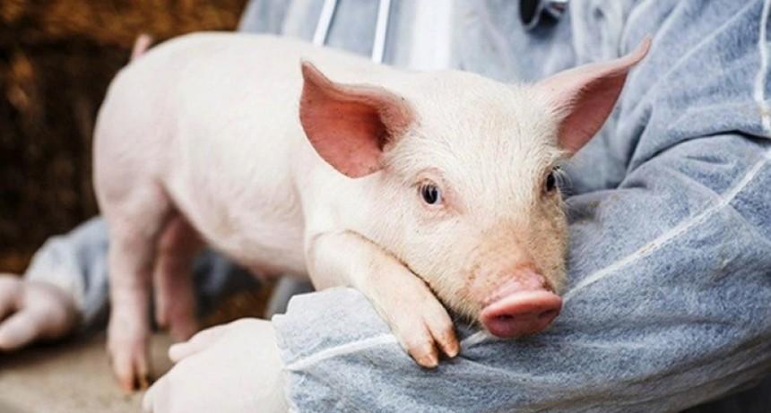 Investigadores argentinos avanzan en la edición genética de cerdos para el trasplante de órganos a personas