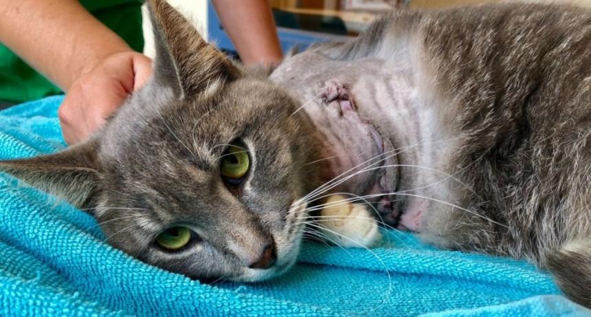 El drama del gato Pickles: le ataron pirotecnia a una pata y debieron amputarlo